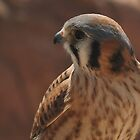 American Kestrel by Richard G Witham
