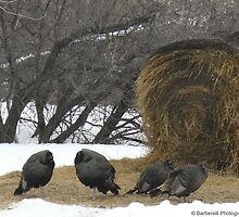 Wild Turkeys and Polts Struggling to Keep Warm in Winter by Barberelli