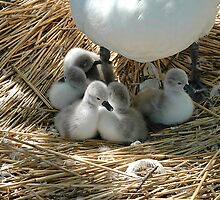 Baby swans In Mum's shade by buttonpresser