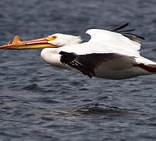 American White Pelican 2 by Joe Thill