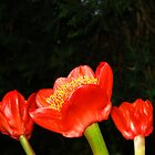 Haemanthus Coccineus Trio (Blood Lily) by Bev Pascoe