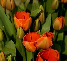 Orange Tulips by lizalady