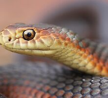 Lowland Copperhead 1 by Steve Bullock
