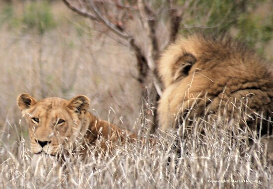 IN A DISTANCE, WELL CAMOUGFLAGED, THE LION AND LIONESS.. by Magaret Meintjes
