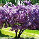 Vidalia's Wisteria Tree by Lisa Taylor