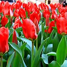 More Tulips by CMCetra