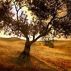 Sunrise over an Olive Tree Landscape  by Mal Bray