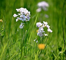 Cuckooflower - Lady's smock by Paul Hindson