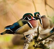 Wood Duck in the Woods by David Friederich