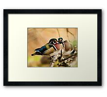 Wood Duck in the Woods Framed Print
