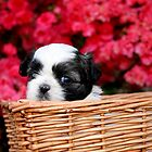 Shih Tzu by Darren Fisher