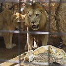 I'll Protect you! - Simba and Goldie the lions. by Nicole K