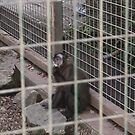 I'm Hungry - Junior the Capuchin by Nicole K