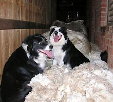 Sheepdogs on the wool by Julie Sleeman