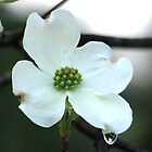 White Dogwood Spring Tears by Lee Hiller-London