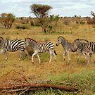 Zebras by Tracy Riddell