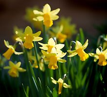 Spring Narcissus by swhite99