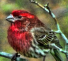 House Finch by Sviatlana