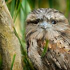 Tawny Frogmouth by David Bellamy