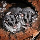Sugar Gliders by David Bellamy