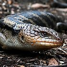 Blue Tongued Lizard by David Bellamy