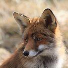 Fox2_4952 by DutchLumix