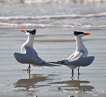 caspian terns doing the dance on beach by cetrone
