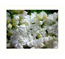 White Lilacs in Bloom Art Print