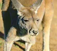 Eastern Grey Kangaroo - portrait no.4 by graphicscapes