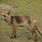 Fox (4) by angeljootje