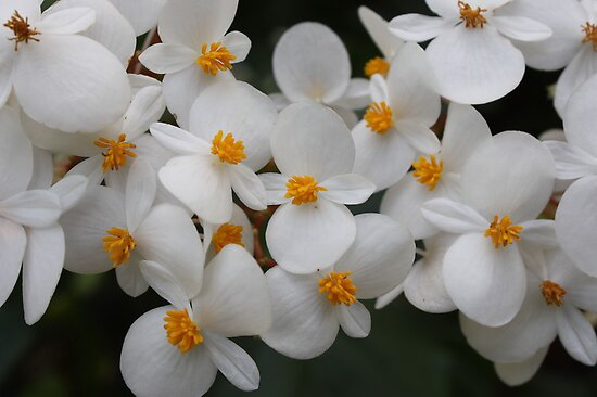 white flowers by Yacoub Hilweh