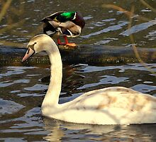 Me, a Swan ? Aww go on !! by Stan Owen