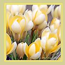 Yellow crocus in early spring B by pogomcl