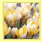 Yellow crocus in early spring C by pogomcl