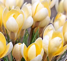 Yellow crocus in early spring by pogomcl