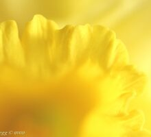 Yellow daffodil tunnel by pogomcl