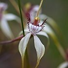 Common Spider Orchid by Briarah1969