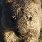 wombat, up close by col hellmuth