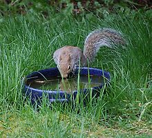 Squirrel Drinking by Jonice