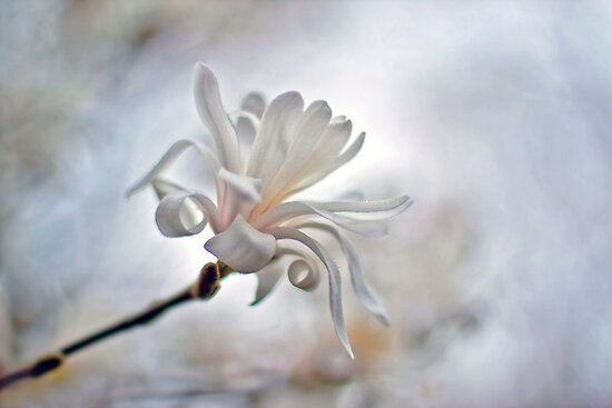 White Glory  by Maria Ismanah Schulze-Vorberg