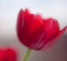 Red Tulip by Copperhobnob
