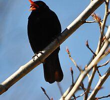 Blackbird singing... by Michael Brewer