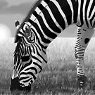 Zebra Grazing In A Sunset Safari by AlejandroDeLeon