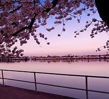 Cherry Blossoms in the Morning by Eric G Brown