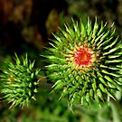 Star Thistle7-Merced River,Ca by Alan Brazzel