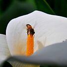 Gathering Pollen-Rch Cucamonga, Ca by Alan Brazzel
