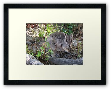 Rock Wallaby & Baby by Vanessa Barklay