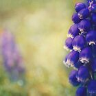Grape Hyacinth by Sid Black