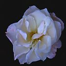 Hint of Pink (Rose) by Trevor Kersley