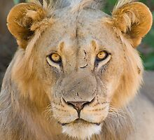 African Lion, Samburu, Kenya by Sue Earnshaw